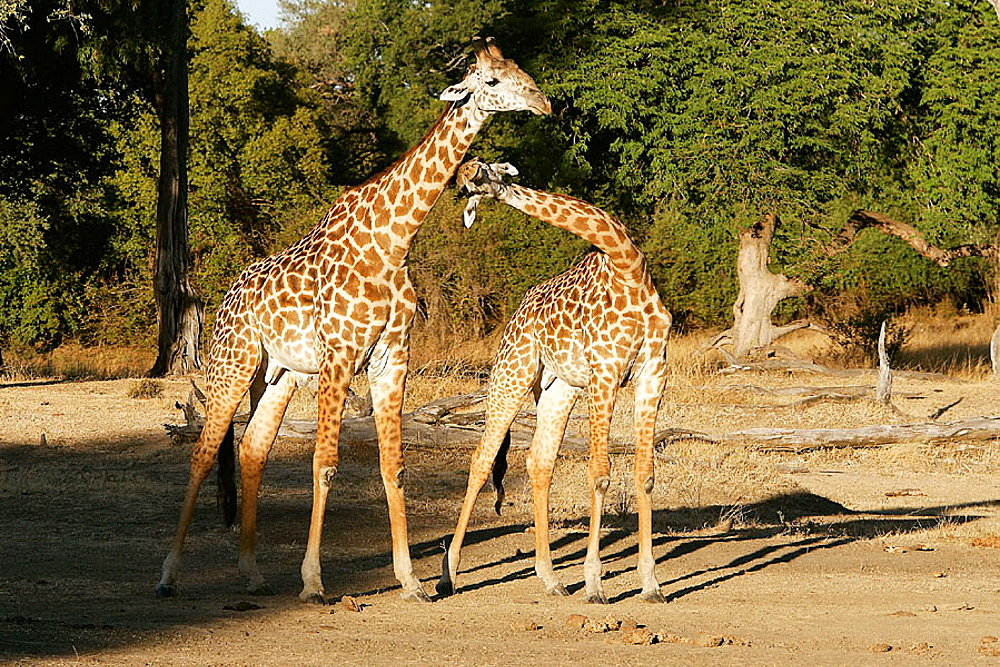 Thornicroft's Giraffe (Giraffa camelopardalis thornicrofti), South Luangwa National Park, Zambia