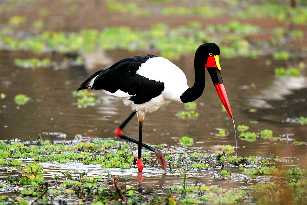 Saddle-billed Stork (Ephippiorhynchus senegalensis), South Luangwa National Park, Zambia