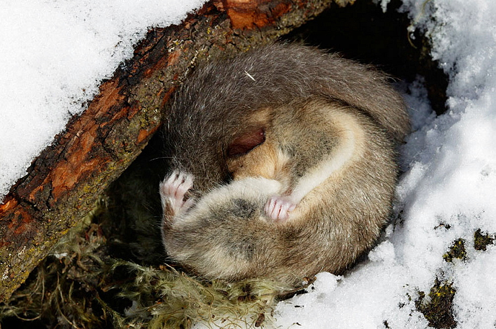 Fat Dormouse hibernating (Myoxus glis), France. - 817-84252