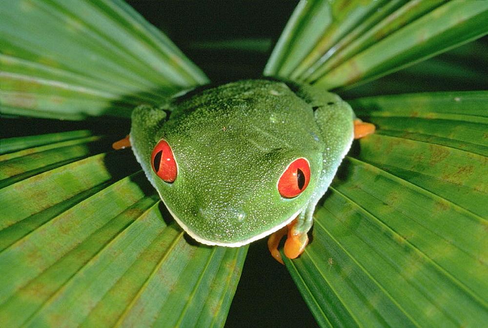 Red-eyed Treefrog (Agalychnis callidryas), Costa Rica