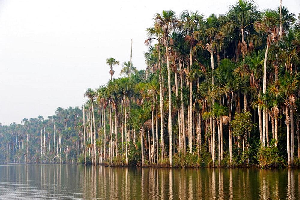 Moriche palm (Mauritia flexuosa), Sandoval lake, Peru. - 817-85121