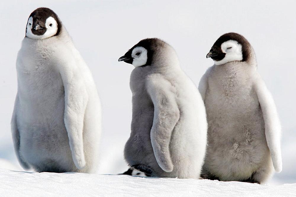 Emperor Penguins (Aptenodytes forsteri), Snow Hill Island, AntarcticaEmperor Penguins (Aptenodytes forsteri), Snow Hill Island, Antarctica
