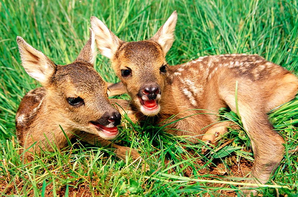 Roe Deers (Capreolus capreolus)