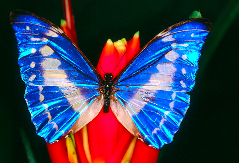 Butterfly (Morpho cypris), Costa Rica - 817-8624