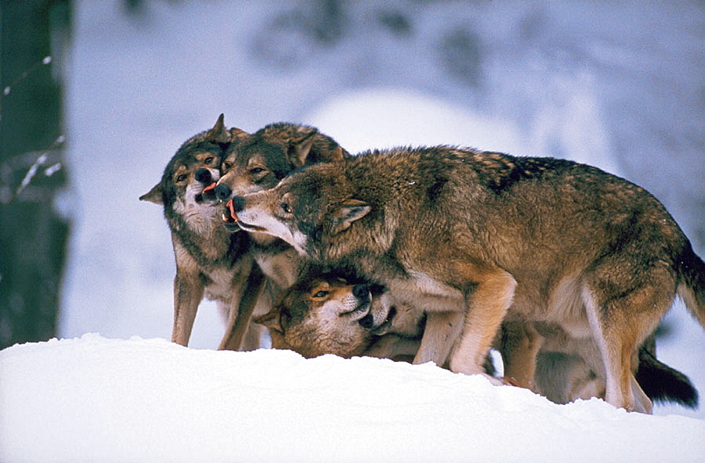 Wolves (Canis lupus)