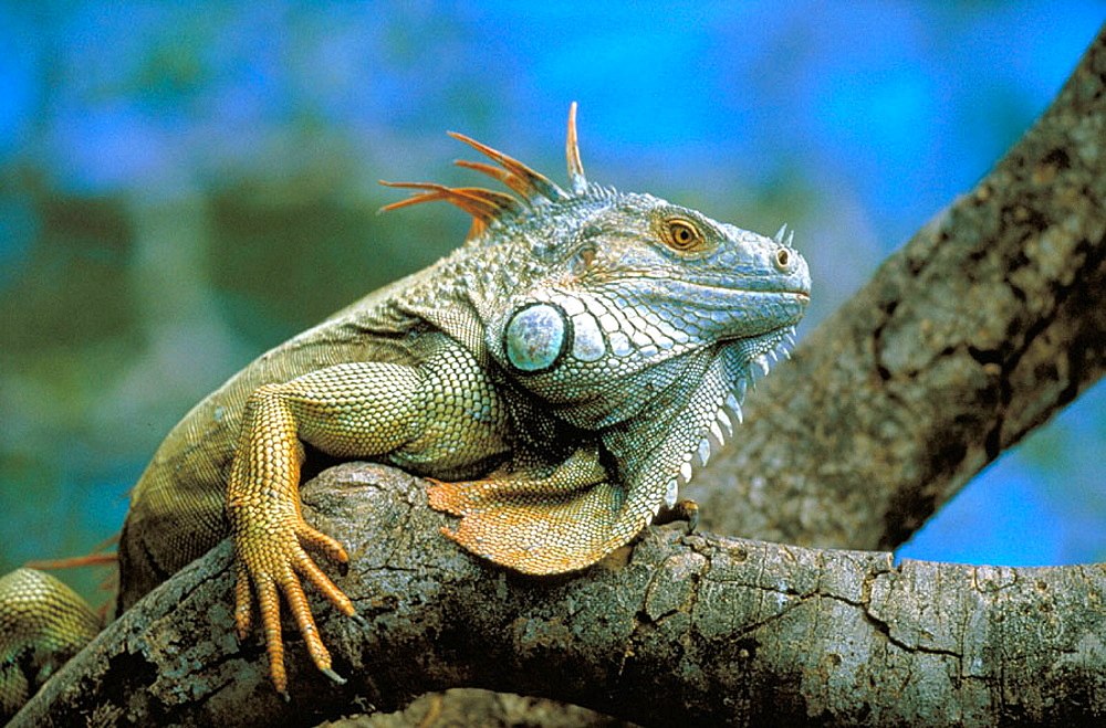 Green Iguana (Iguana iguana), Costa Rica - 817-8651