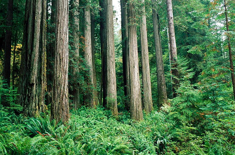 Redwoods (Sequoia semprevirens), Jedediah Smith State Park, California, USA
