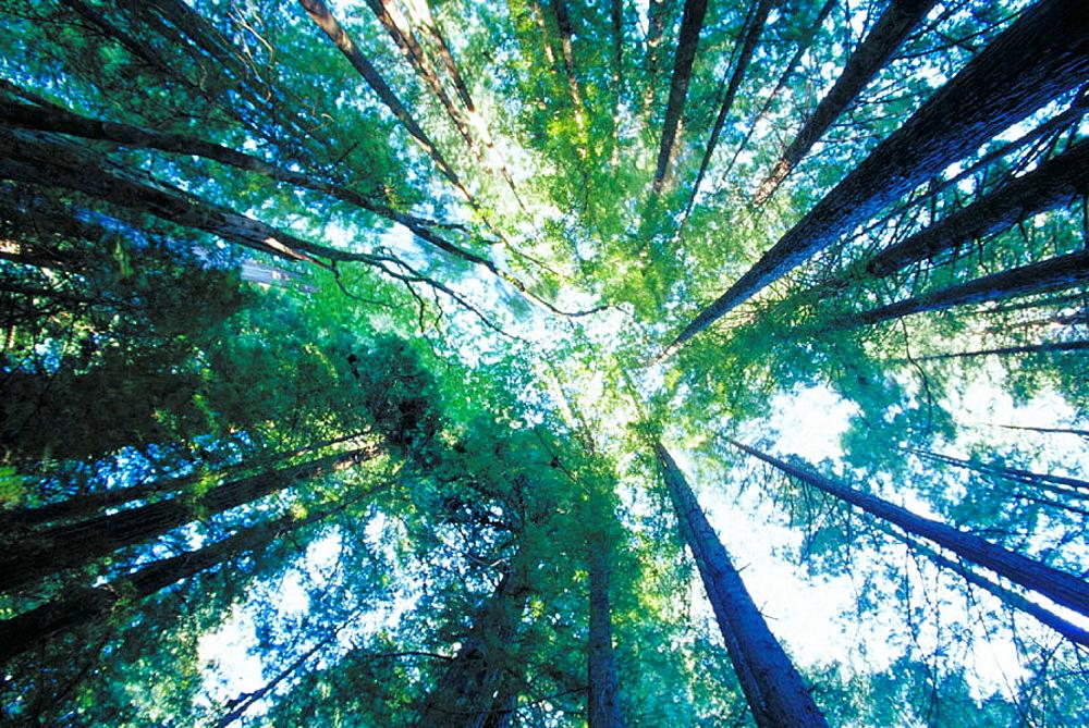 Redwood forest, Humboldt Redwoods State Park, California, USA