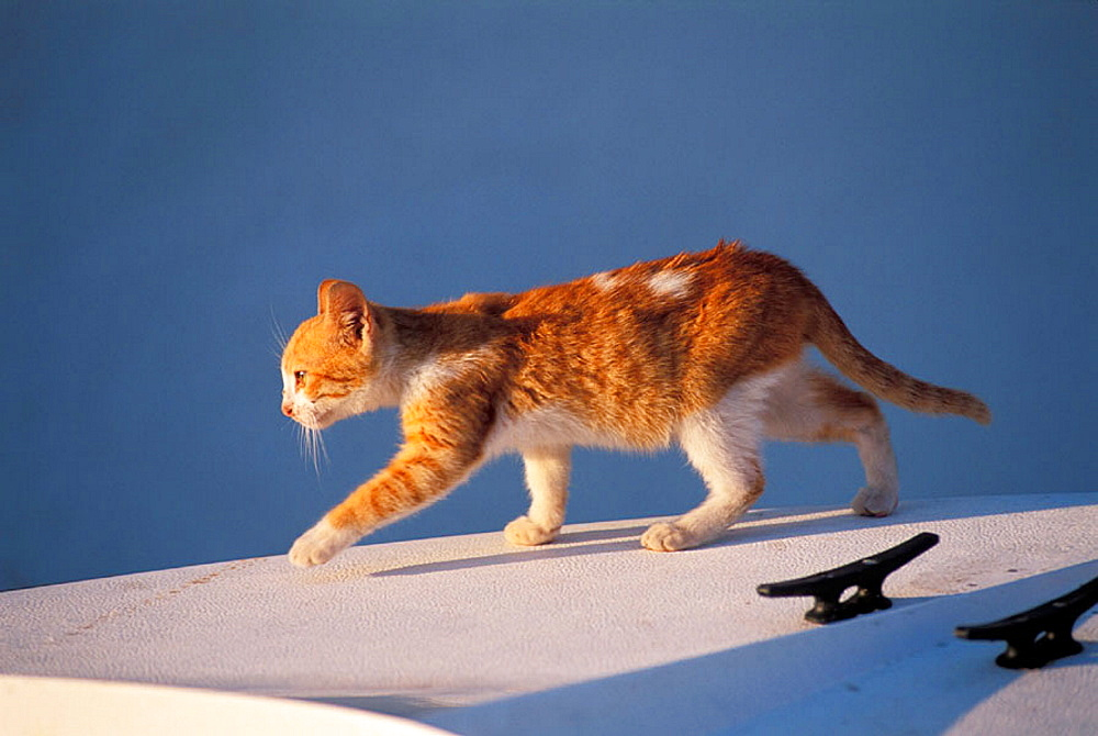 Yellow-brown kitten walking