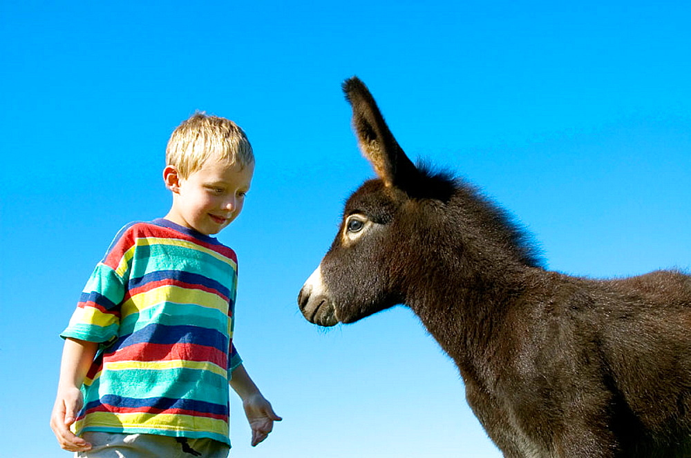 A six year old boy would like to stroke a a young donkey