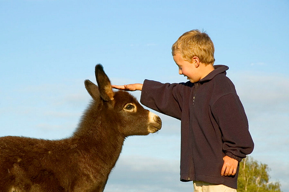 A six year old boy stroking a a young donkey
