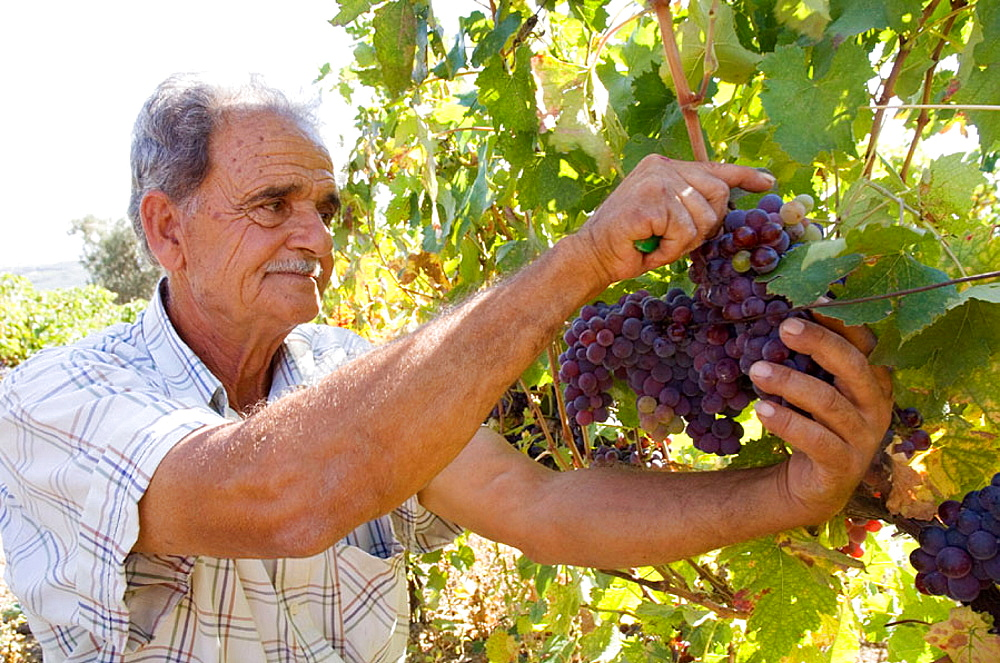 In a village called Dafnes, located in the surrounding mountains of the main city, Heraklion, a wine maker gathering grapes, Crete, Greece.