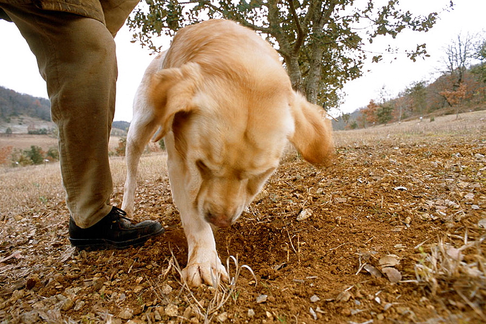 Training dog for truffle harvest, Pierre Souzat, scientist of 'truffle station' of Cahors Le Montat, Quercy, Lot, France.