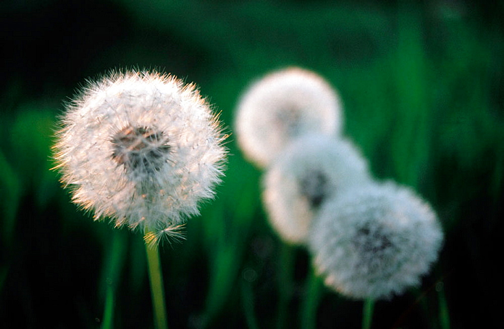 Dandelions in seed stage of life cycle