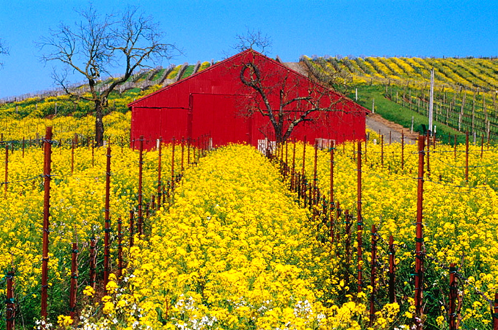 Wild Mustard and red barn in vineyard in spring, Carneros Region, Napa County, California, USA