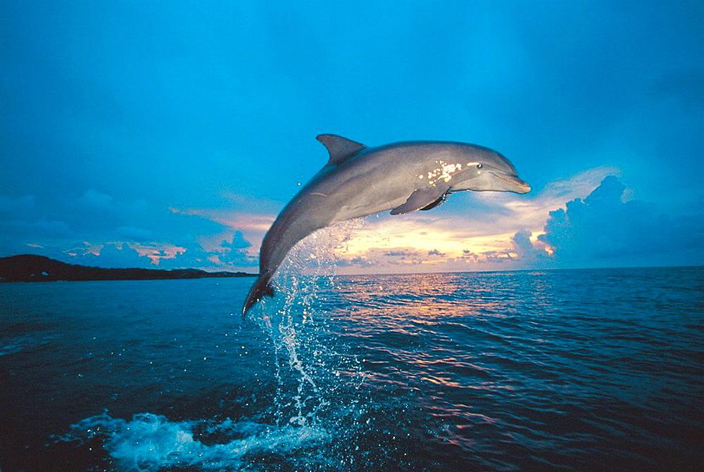 Bottlenose Dolphin (Tursiops truncatus), Honduras