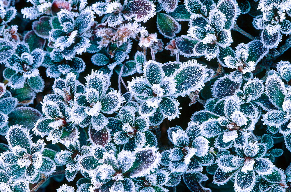 Frost covered garden shrubs, Seattle, Washington, USA.