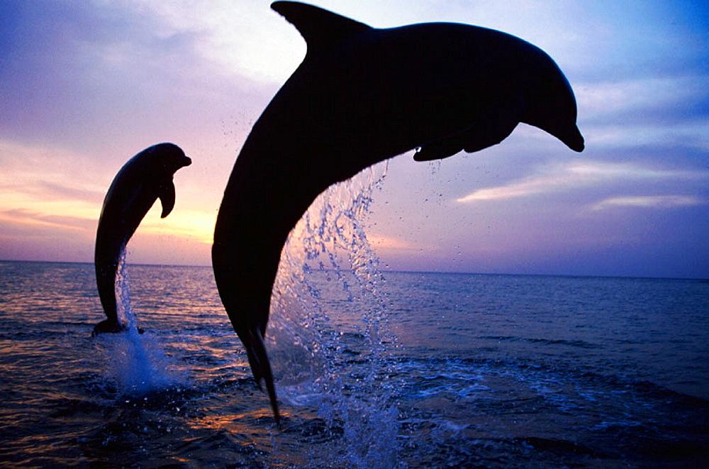 Bottlenose Dolphin (Tursiops truncatus).
