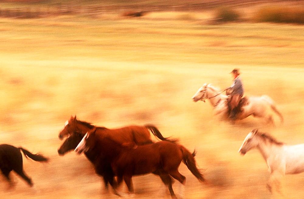 Wild Mustangs (Equus caballus), Oregon, USA.