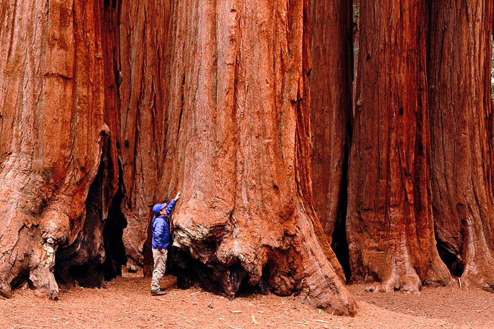 Hiker touching Big Tree (Sequoiadendron giganteum), Parker Grove, Sequoia National Park, California, USA