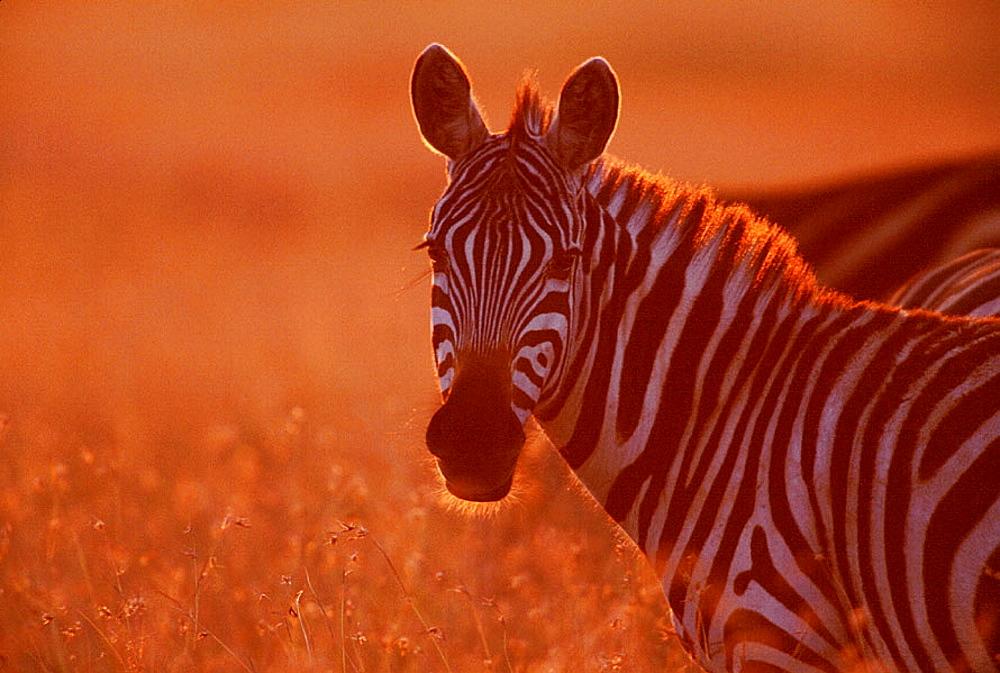 Burchells Zebra (Equus burchelli), Masai Mara, Kenya - 817-932