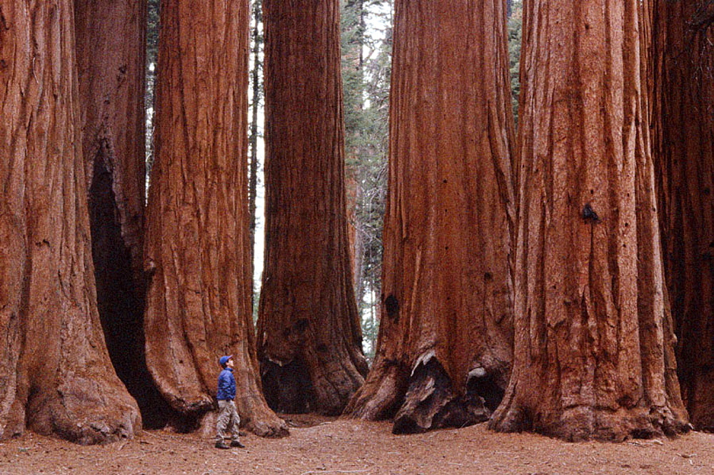 Hiker looking at Big Trees (Sequoiadendron giganteum), Parker Grove, Sequoia National Park, California, USA