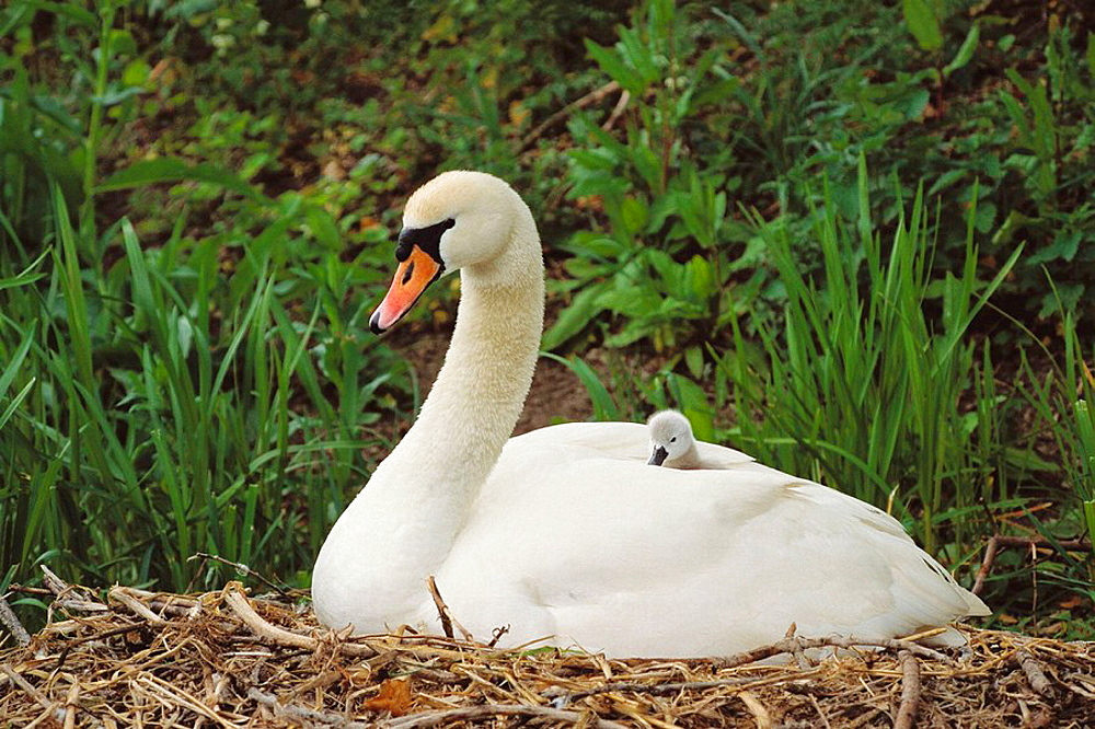 Mute Swan (Cygnus olor), mother and young, England, UK