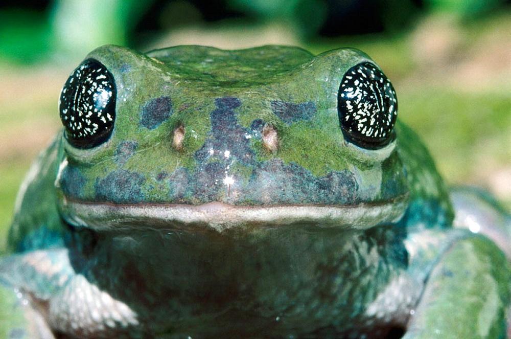 Mexican Leaf Frog (Agalychnis dacnicolor) - 817-93484