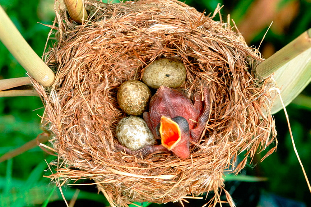 Common Cuckoo (Cuculus canorus) chick in nest