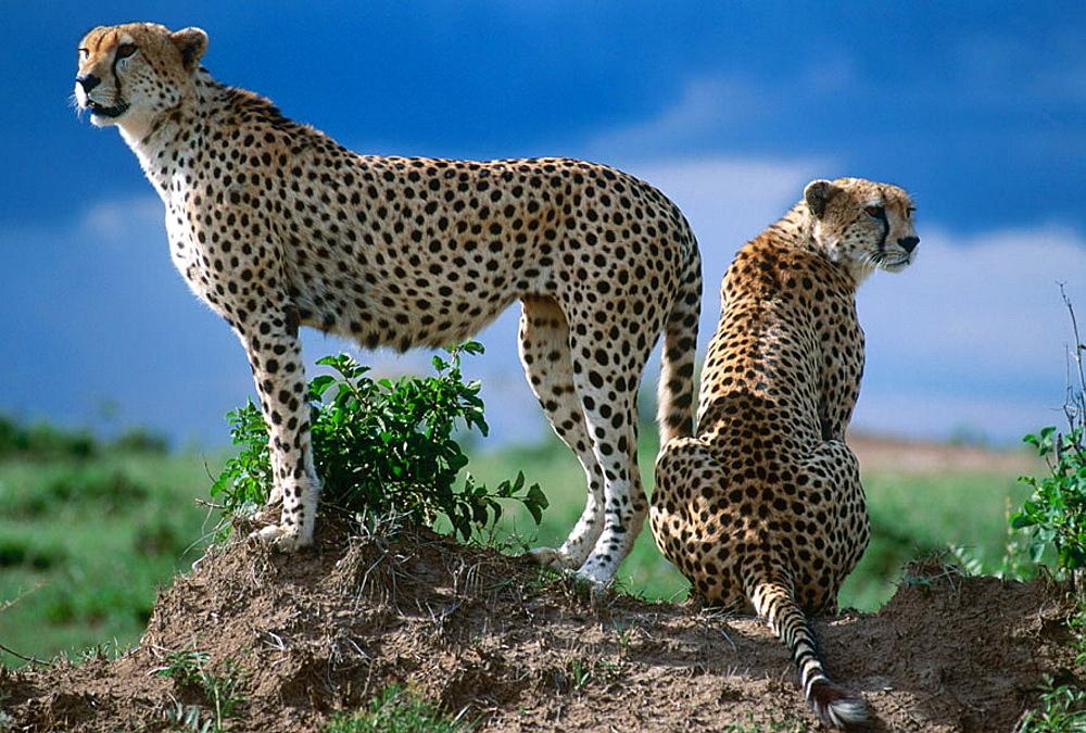 Cheetahs (Acinonix jubatus), Masai Mara, Kenya - 817-9368