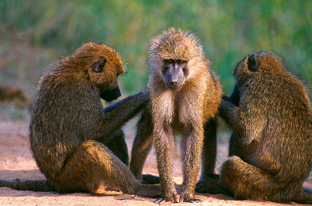 Yellow Baboons grooming (Papio cynocephalus), Samburu Game Reserve, Kenya