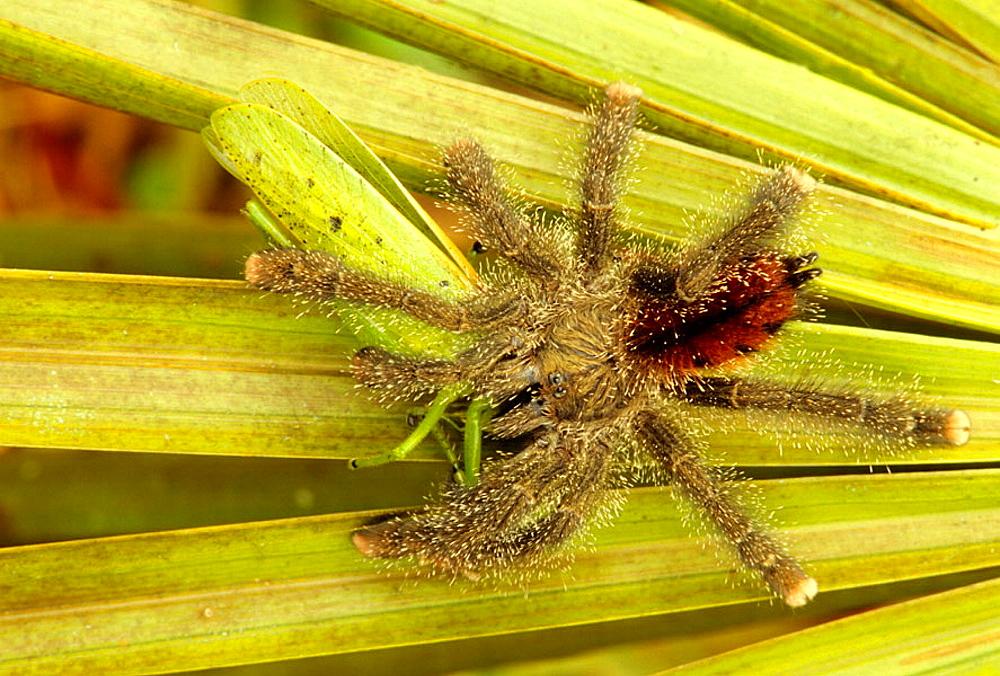 Bird Spider Tarantula (Avicularia Metallica), Eating Katydid, Peru, Tropical rainforest