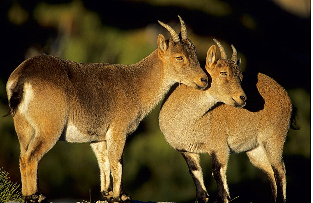 Spanish Ibex Ewes (Capra pyrenaica), Spain, I.U.C.N, vulnerable, Lives in mountainous areas of Pyrenees and central and southern Spain