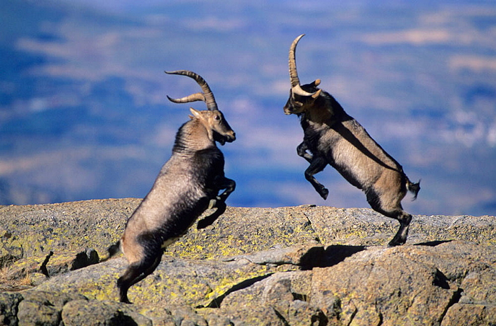 Spanish Ibex (Capra pyrenaica) Males fighting in rut, Spain, I.U.C.N, vulnerable, Lives in mountainous areas of Pyrenees and central and southern Spain .