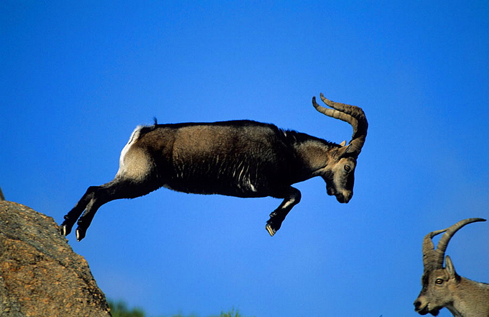 Spanish Ibex (Capra pyrenaica) Jumps, Spain, I.U.C.N, vulnerable, Lives in mountainous areas of Pyrenees and central and southern Spain .