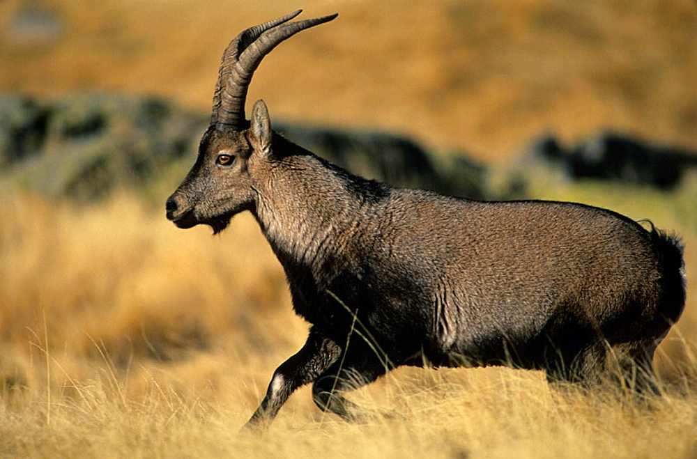 Spanish Ibex (Capra pyrenaica) running, Spain, I.U.C.N, vulnerable, Lives in mountainous areas of Pyrenees and central and southern Spain .