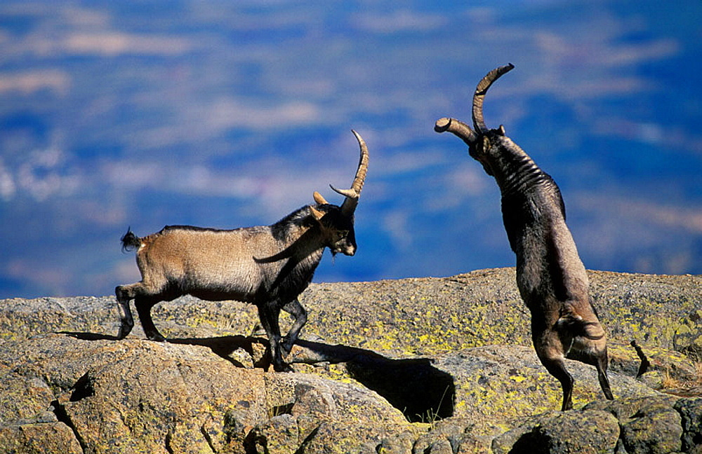 Spanish Ibex (Capra pyrenaica), Spain, I.U.C.N, vulnerable, Lives in mountainous areas of Pyrenees and central and southern Spain .