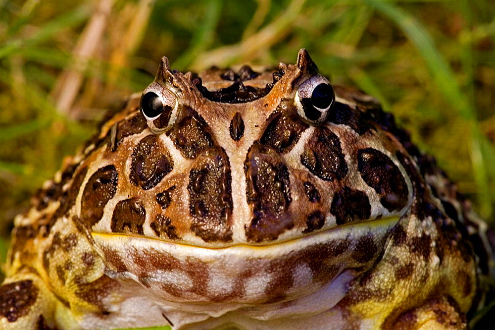 Cranwell's Horned Frog (Ceratophrys cranwelli) - Captive - Native to South America - 817-93863