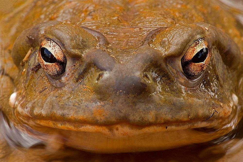 Sonoran Desert Toad (Bufo alvarius)