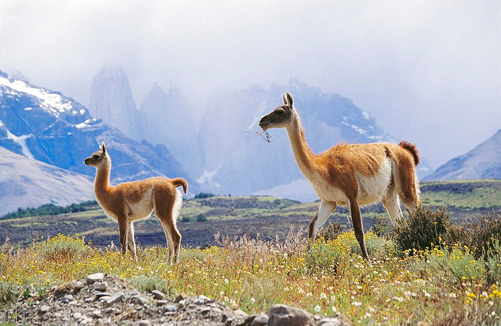 Guanaco (Lama guanicoe), young and parent, Torre del Paine National Park, Chile