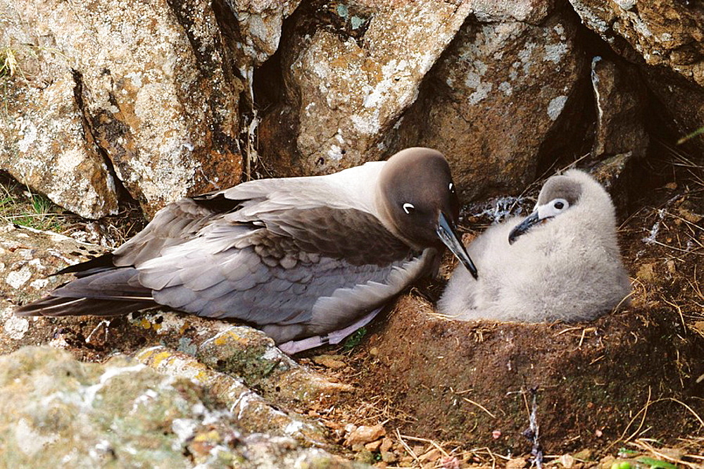 Dark-mantle Sooty Albatross (Phoebetria fusca), adult and chick, Campbell Islands, New Zealand
