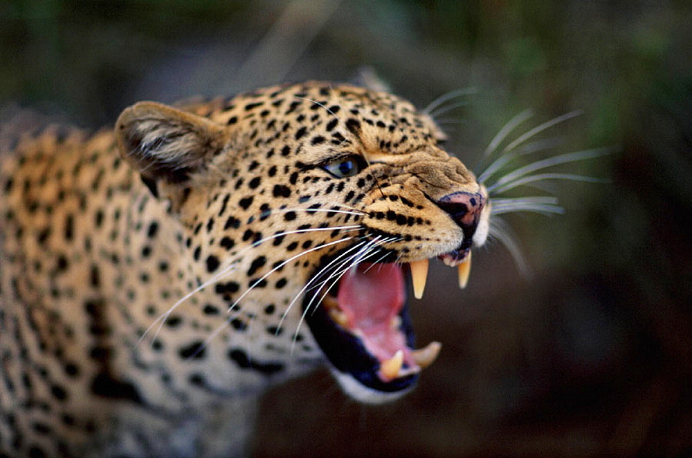 Leopard (Panthera pardus), Masai Mara, Kenya - 817-952