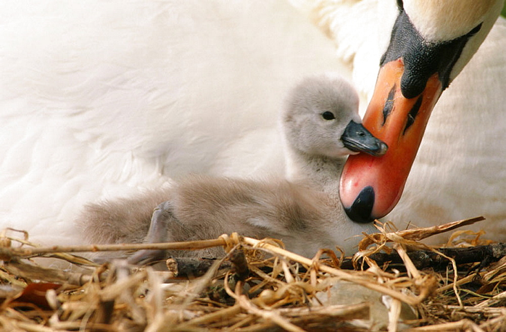 Mute Swan (Cygnus olor), mother and young, England