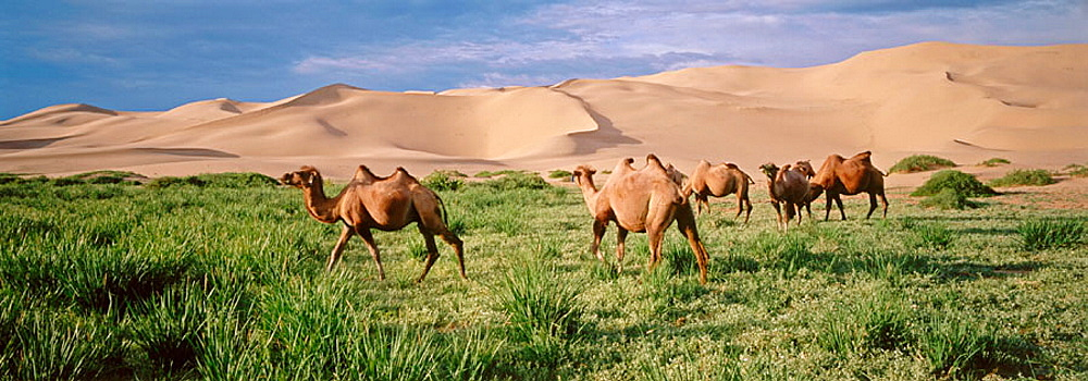 Bactrian Camels, Khongoryn Els Dunes, Gobi Desert, Gobi National Park, Omnogov province, Mongolia