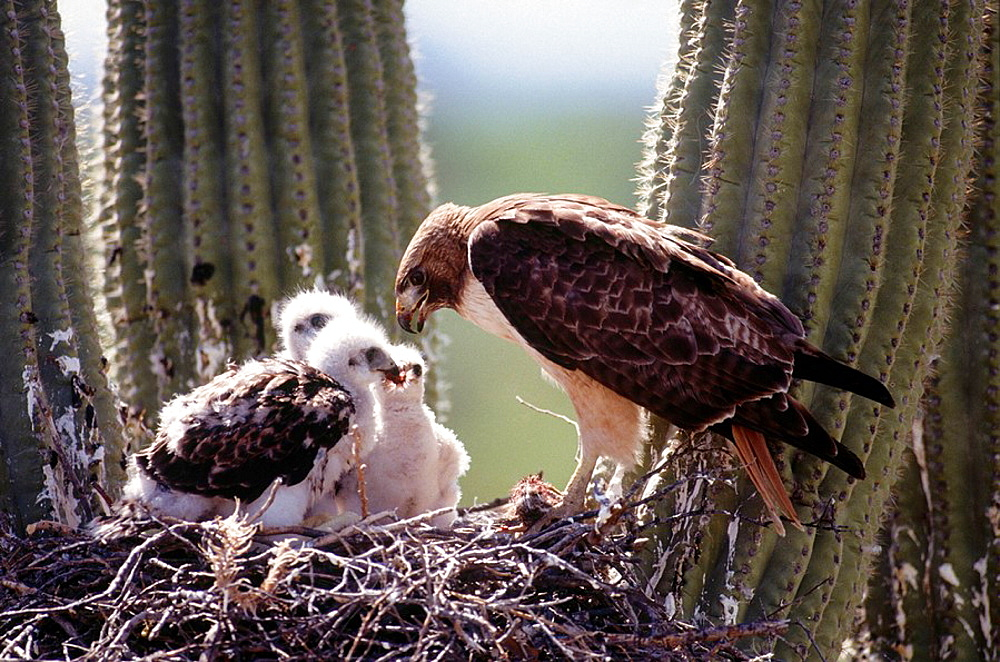 Red-tailed Hawk (Buteo jamaicensis) in nest with youngs, Sonoran Desert, Arizona, USA