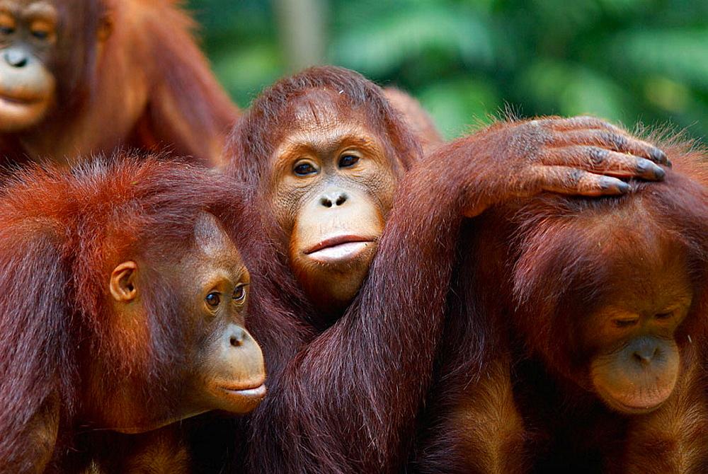Orang-utan from Sumatra island, Zoo, Singapore. - 817-97038