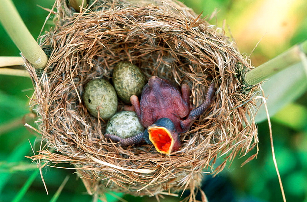 Cuckoo (Cuculus canorus), chick in nest, England