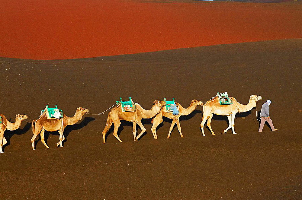 Spain, Canary islands, Lanzarote, Parque Nacional (national park) de Timanfaya, camels. - 817-97708