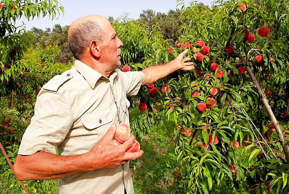 Man collecting peaches at San Sperate, Sardinia, Italy