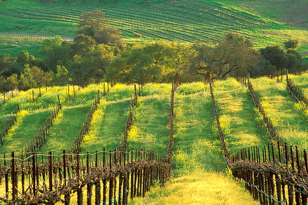 Sunset on vineyard in spring, Carneros Valley, Napa County, California, USA